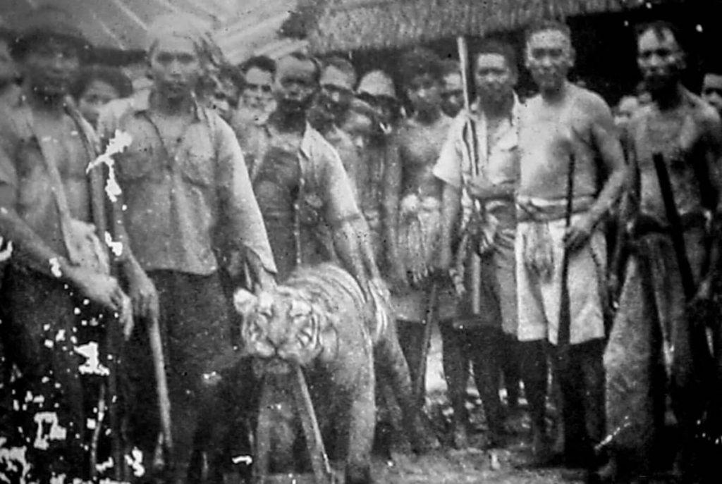 Tigre abattu en 1965.